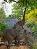 African Elephant reaching up to a tree with trunk extended trying to reach ripe mango fruit Royalty Free Stock Photo