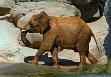 African elephant, recently bathed. Stock Photo