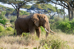 African elephant in reserve Royalty Free Stock Photos