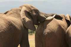 African Elephant Rest Royalty Free Stock Photos