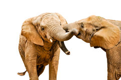 African elephant rivalry - isolated Royalty Free Stock Images