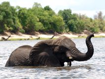 African elephant in a river Royalty Free Stock Photos