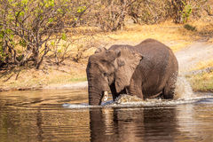 African Elephant in the river. Of Botswana reserve Stock Image