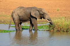 African elephant in river Stock Photo