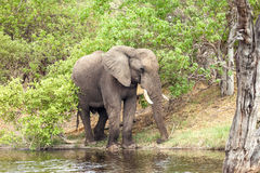 African Elephant at the river. In reserve of botswana Stock Photo
