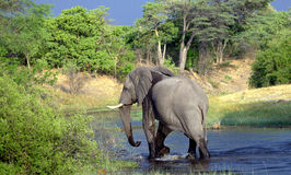 African Elephant in the river. African Elephant is walking in the river Stock Image