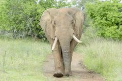 African Elephant on road Stock Photo