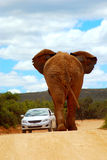 African elephant road traffic. Back view of a huge African elephant bull walking towards a car on a red soil road in South Africa royalty free stock images
