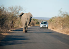 African elephant on the road Stock Photography