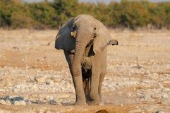 African elephant are run, etosha nationalpark, namibia Royalty Free Stock Image