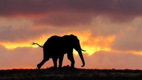 African Elephant on the run at Sunset Royalty Free Stock Images