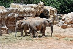 African elephant's couple in natural environment. Stock Photography