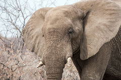 African elephant`s face Stock Images