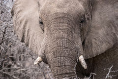 African elephant`s face Stock Image