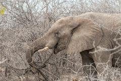 African elephant`s face Royalty Free Stock Photo