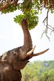 Elephant reaching up with trunk to feed on the vibrant green  mango leaves. African Elephant with it`s trunk stretced and curled around green vibrant leaves of a Stock Photos