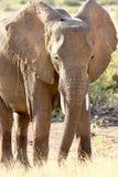 African elephant in Samburu National Reserve Royalty Free Stock Photo