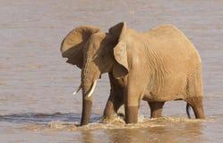 African Elephant, Samburu Reserve, Kenya. African Elephant (Loxodonta africana) crossing the Ewaso Nyiro River in Kenya's Samburu Reserve Stock Photo