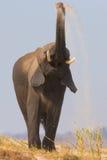 African elephant sand bathing Stock Photos