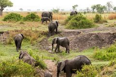 African elephant in the savanna. Forest. Tanzania, Africa Royalty Free Stock Photography