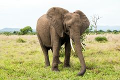 African elephant in the savanna. Forest. Tanzania, Africa Royalty Free Stock Photo