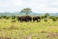 African elephant in the savanna. Forest. Tanzania, Africa Stock Images