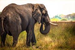 African Elephant. In savanna of Botswana Stock Photos