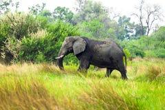 African Elephant. In savanna of Botswana Stock Image