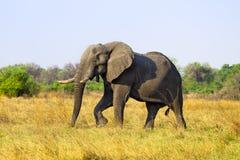 African Elephant. In savanna of Botswana Stock Photo