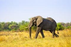 African Elephant. In savanna of Botswana Royalty Free Stock Image