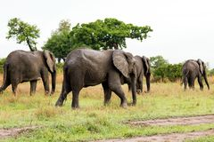 African elephant in the savanna. Forest. Tanzania, Africa Stock Image