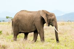 African elephant in the savanna. Forest. Tanzania, Africa Royalty Free Stock Photos