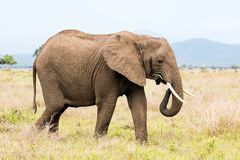 African elephant in the savanna. Forest. Tanzania, Africa Royalty Free Stock Image
