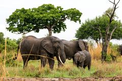 African elephant in the savanna. Forest. Tanzania, Africa Stock Photos