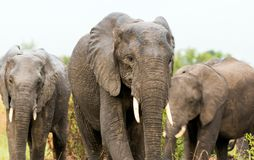 African elephant in the savanna. Forest. Tanzania, Africa Royalty Free Stock Images