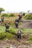 African elephant in the savanna. Forest. Tanzania, Africa Stock Photography