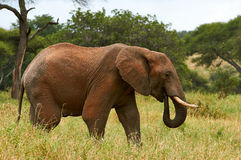 African Elephant in the savanna. Free grazing elephant in the African savanna Royalty Free Stock Photo