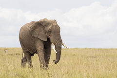 African elephant in savanna Stock Images