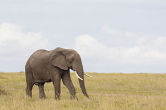 African elephant in savanna Royalty Free Stock Images