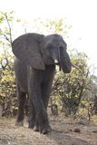 African Elephant in Kruger National Park. African elephant in savanna part of Kruger National Park, South Africa Stock Photos