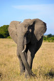 African elephant in the Savannah royalty free stock photography