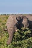 African Elephant in Savannah, Botswana Stock Photos