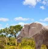 African elephant in Savannah in Kenya Royalty Free Stock Image