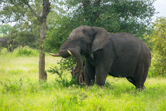 African elephant in savannah Royalty Free Stock Image