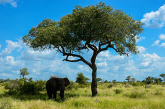 African elephant in savannah, South Africa Stock Photo