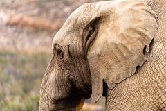 African Elephant in the savannah. An African Elephant standing in the savannah at a private game reserve royalty free stock image