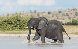 African Elephant, Savuti, Botswana Royalty Free Stock Photos