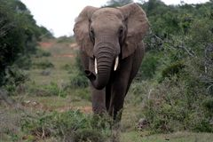 African Elephant Scenting Air. Large African elephant with tusks smelling the air Royalty Free Stock Photo