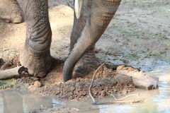 African elephant searching something in a mud and puddle. Close-up of an African bush elephant:  legs, feet, knees and trunk in the ground, mud, wood, puddle Royalty Free Stock Photos