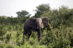 African elephant, Selous National Park, Tanzania Royalty Free Stock Image